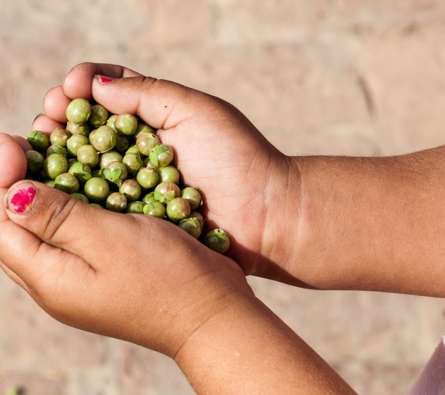 A girl is holding pods/balls of the Myrtle (henna) plant